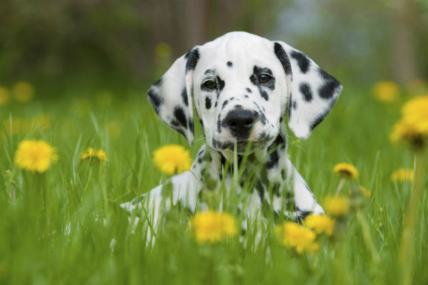dalmatian puppy in grass