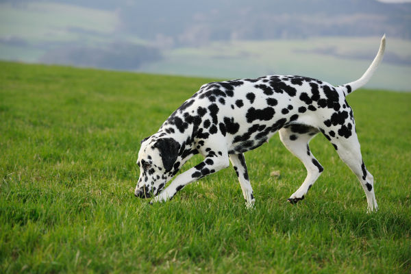 dalmatian sniffing
