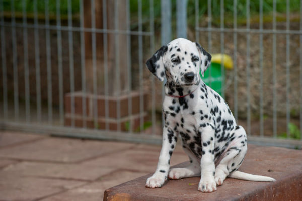 dalmatian spring kennel cleaning