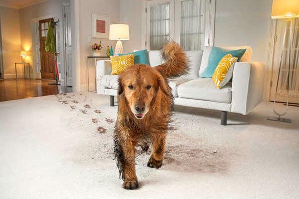 地毯和狗一起走