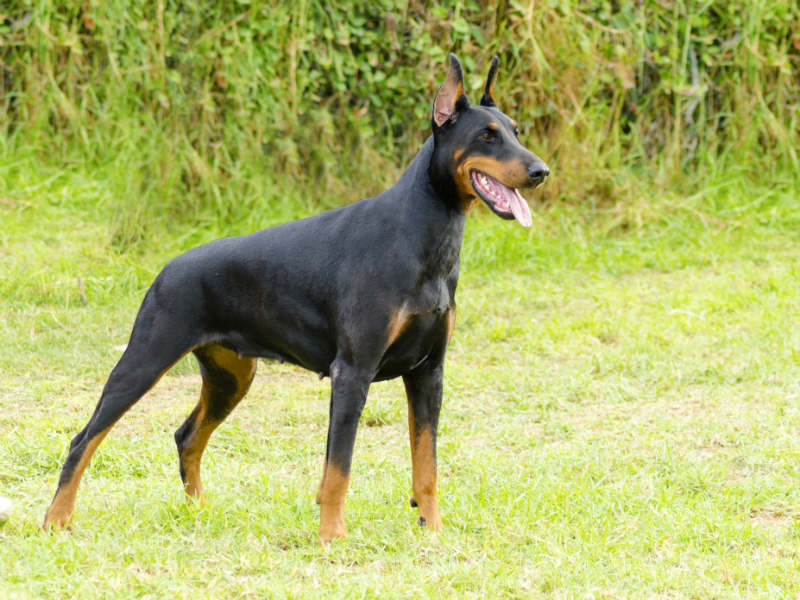The Doberman Pinscher Is An Intelligent Discerning And Fearless