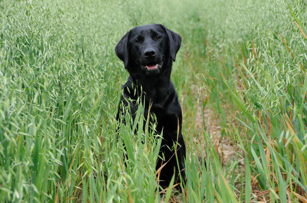 Can Dogs Eat Millet