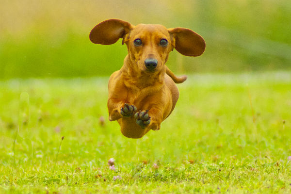 dachshund zoomies