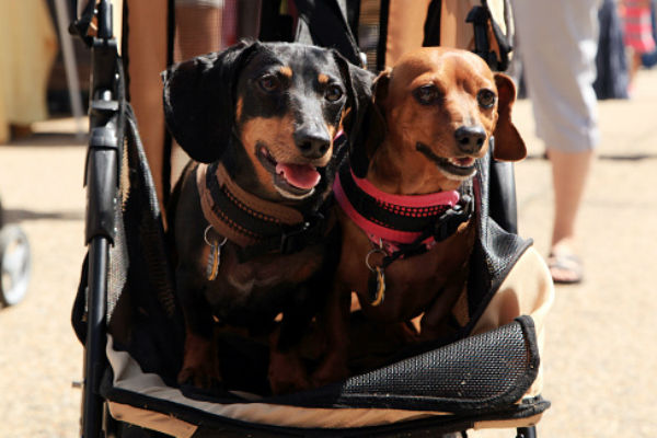 doxies in stroller