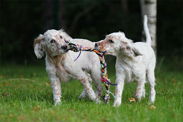english-setter-puppies-tug-of-war-on-grass-body