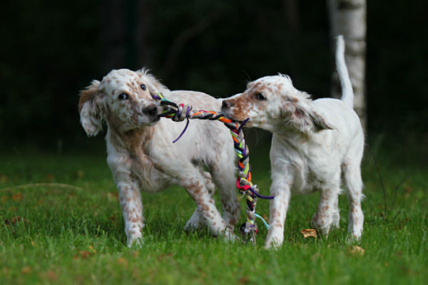 [english setter cute puppies]