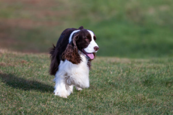 7 Things You Didn't Know About the English Springer Spaniel