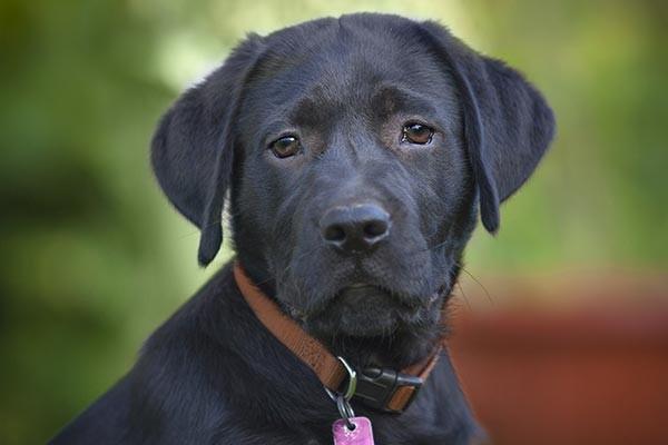black labrador eye contact