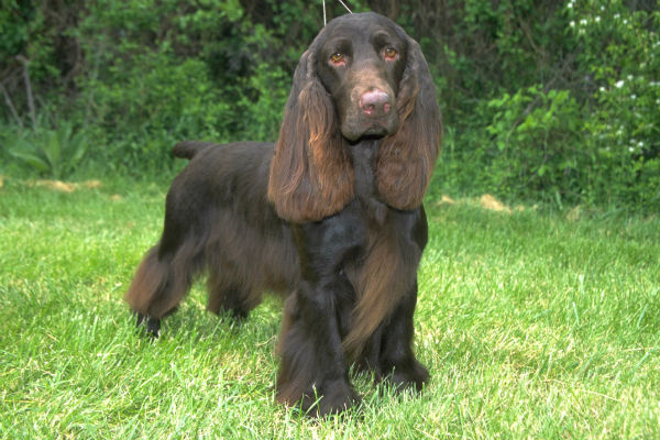 endangered dog breeds field spaniel
