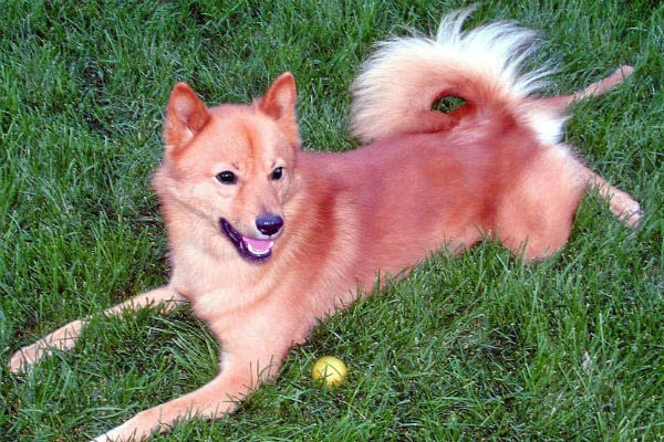 11 Rare Dog Breeds You Never Knew Existed American Kennel Club
