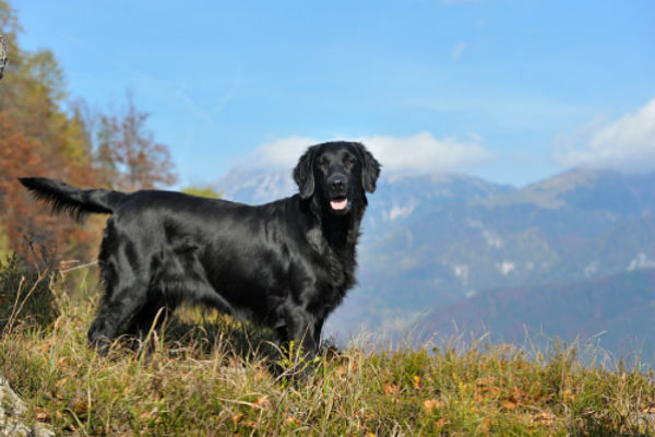 [flat-coated retriever]
