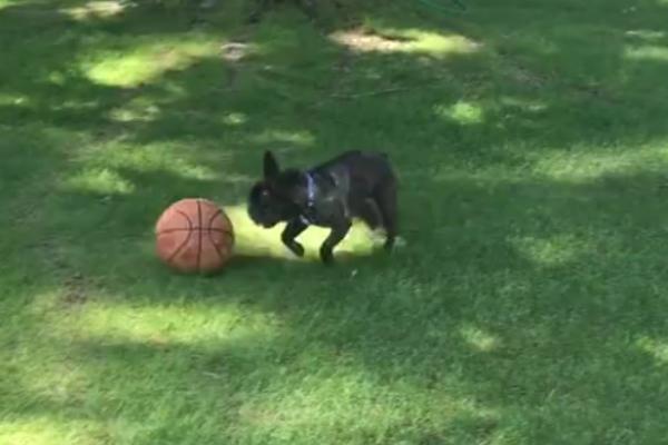 Amazing Bulldog Ball Adorable Dog - french_bulldog_playing_basketball_header_copy  Collection_519  .jpg