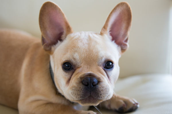 frenchie First day with New Dog by thevetscare.com