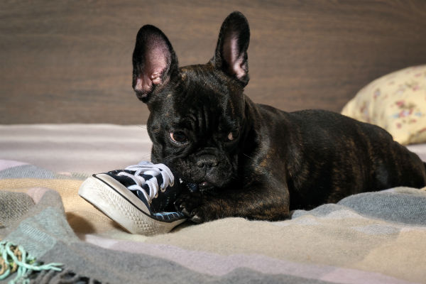 french bulldog chewing shoe