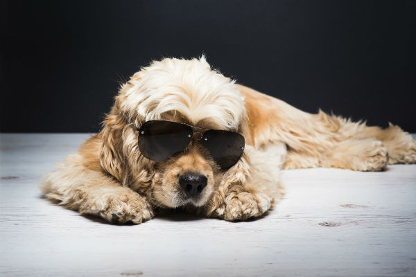 cocker spaniel sunglasses