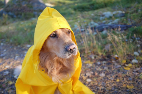 golden raincoat