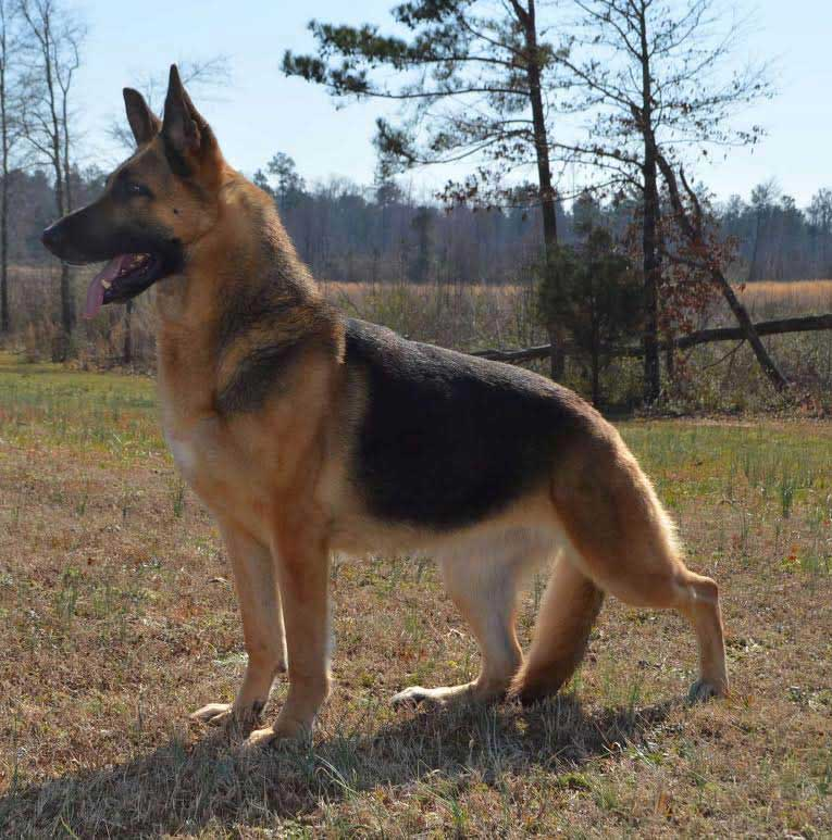 adult german shepherd dog stacked