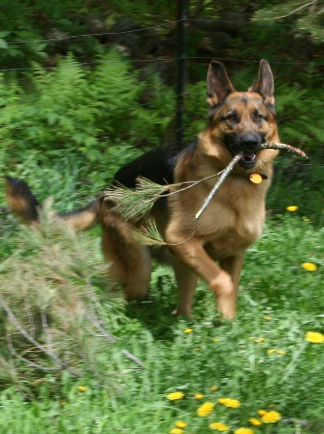 adult german shepherd dog with stick