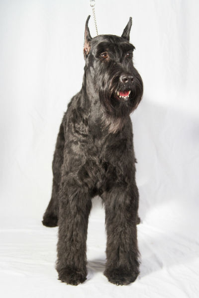 seven facts about owning a giant schnauzer american kennel club