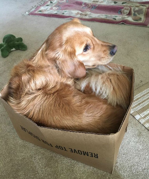 golden in box
