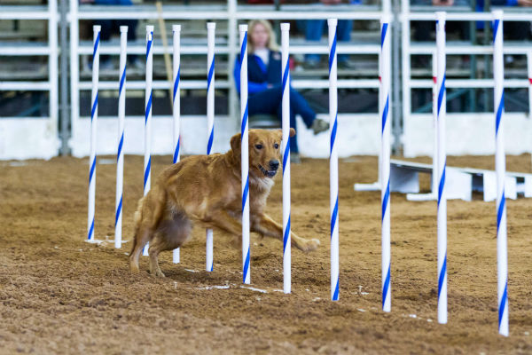 golden_retriever_agility_