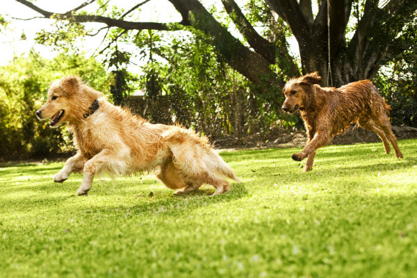 goldens_chasing