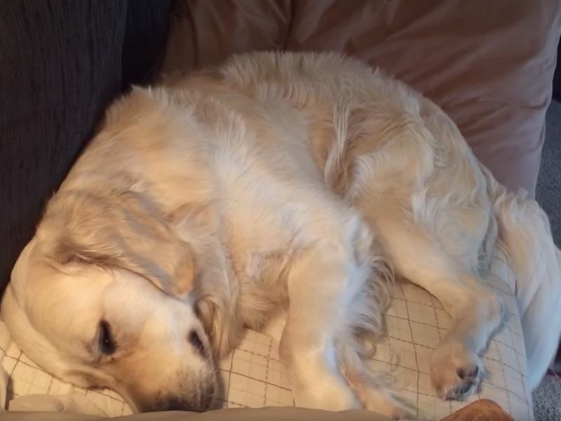 golden retriever nap