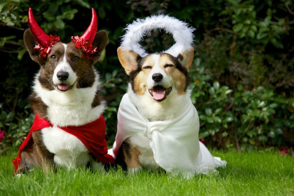 dressed up corgis