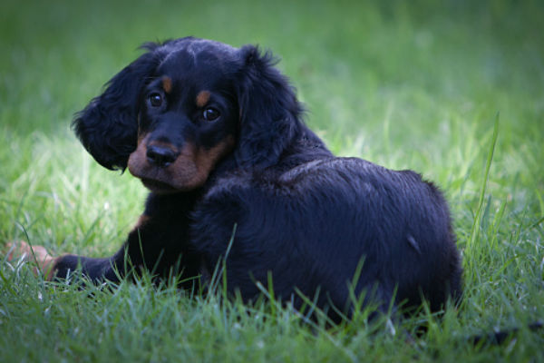 5 Things You Didn't Know About the Gordon Setter – American