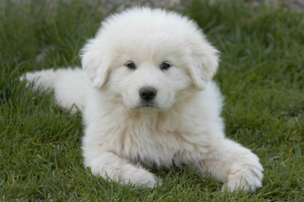 great pyr puppy