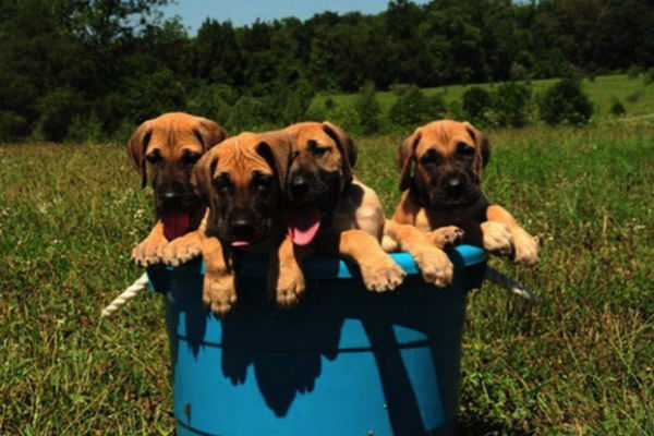 These Working Group Puppies Will Light A Fire In Your Heart - American ...