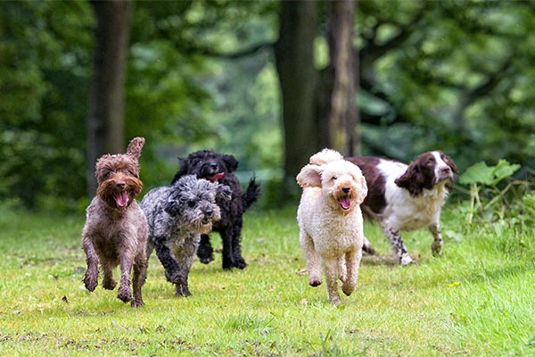 group-of-dogs-running-on-grass-body