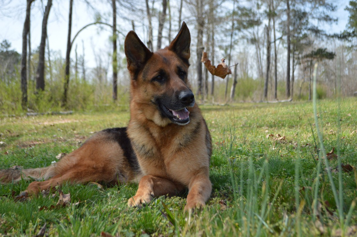 adult german shepherd dog laying down