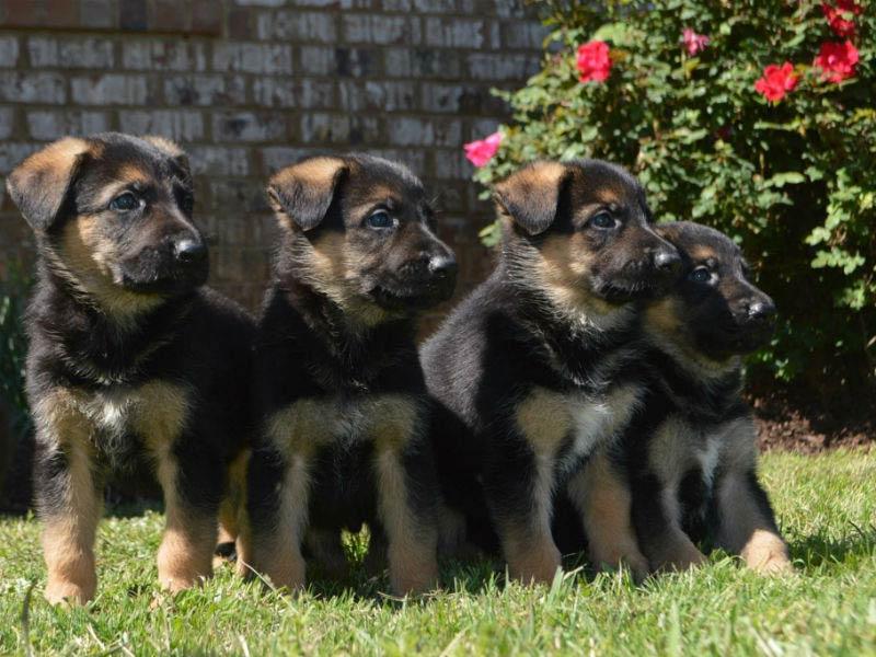 German Shepherd Dog Healthy