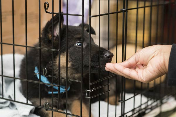 gsd puppy in crate