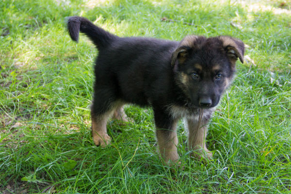 gsd puppy new home
