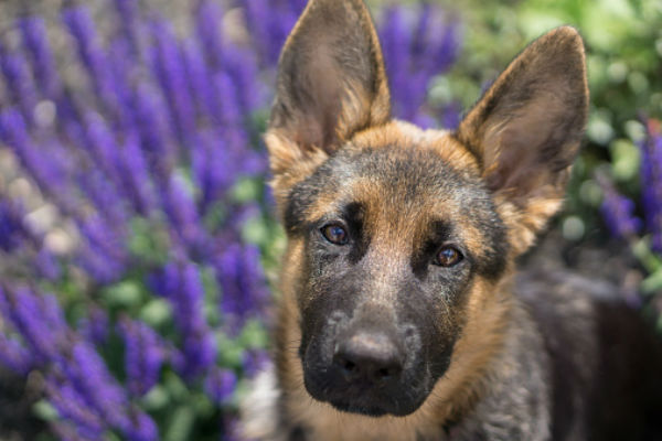 gsd_puppy_lilac_