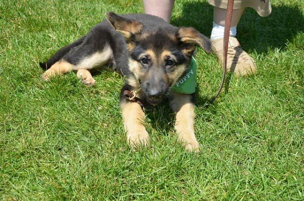 Gsd puppy philly grass