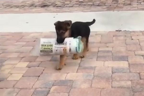 german shepherd pup with paper