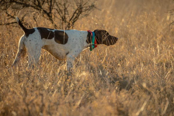 8 Breeds That Are Excellent Bird Hunters – American Kennel Club