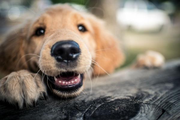 happy golden puppy