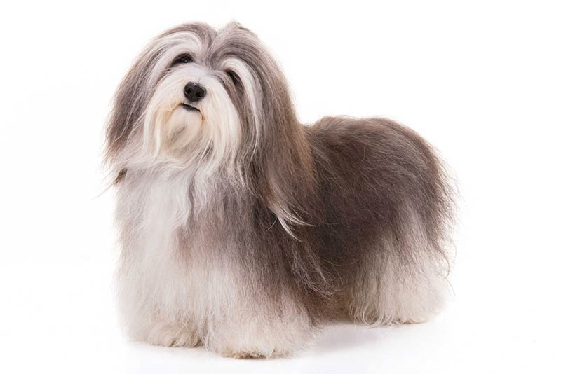 Funny And Lovable Havanese