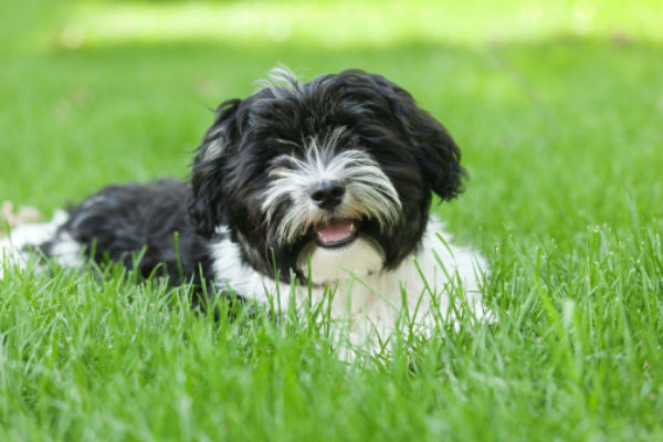 [havanese cute puppies]