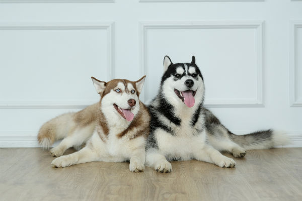 huskies_best_friend