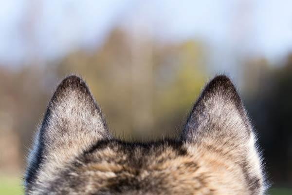 husky ears