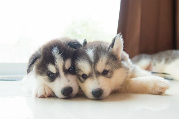 husky pup snuggle