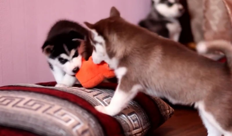 Huskies playing for toy
