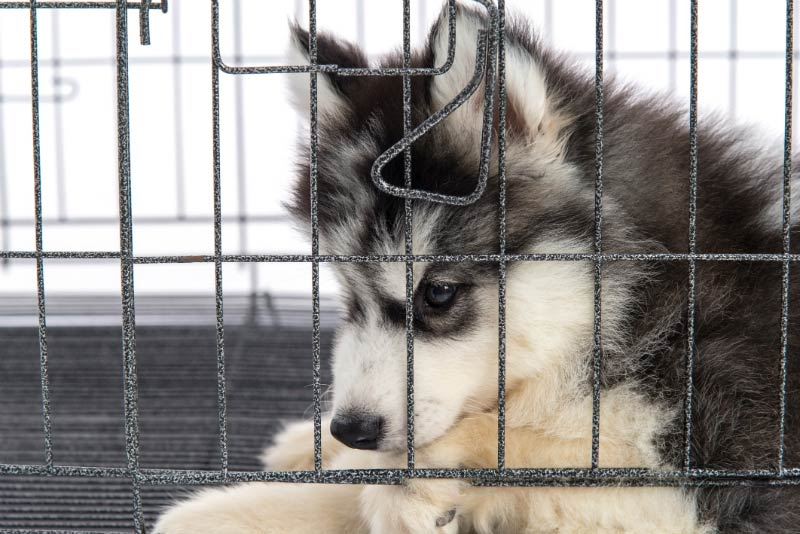 husky puppy in crate