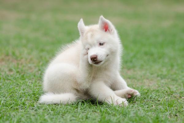 husky puppy scratching