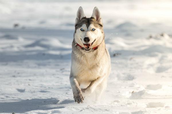 husky_running_